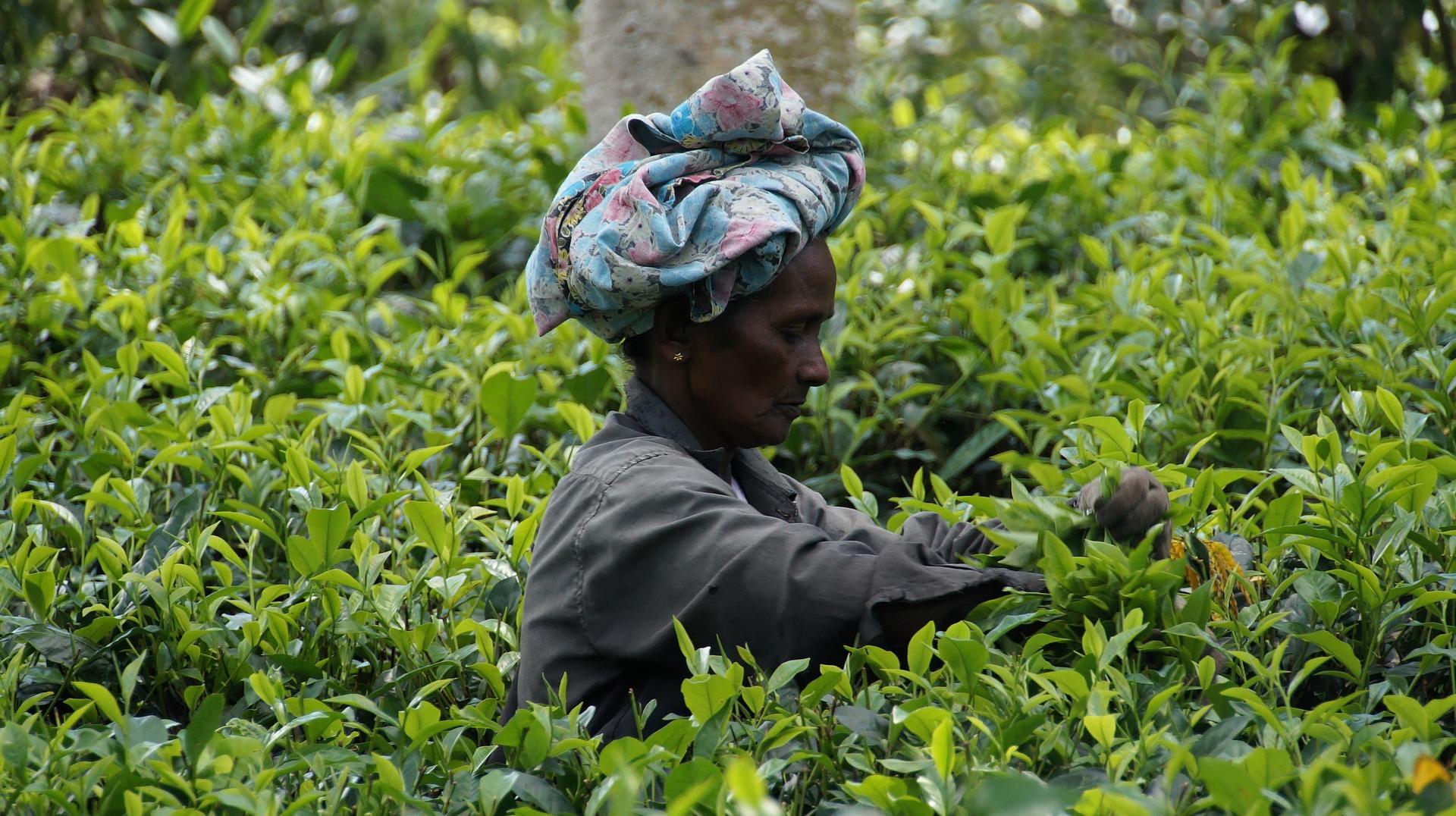 Teeernte in Sri Lanka